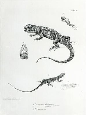 Shingled Iguana, illustration from 'The Zoology of the Voyage of H.M.S Beagle, 1832-36' by Charles Darwin