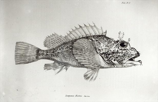 Scorpion Fish, plate 8 from 'The Zoology of the Voyage of H.M.S Beagle, 1832-36' by Charles Darwin