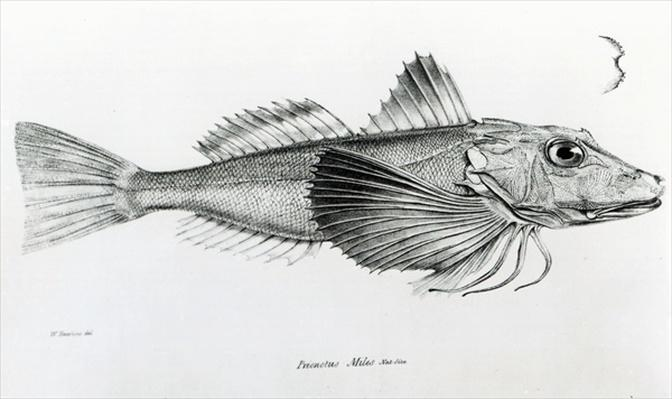 Galapagos Gurnard, plate 6 from 'The Zoology of the Voyage of H.M.S Beagle, 1832-36' by Charles Darwin
