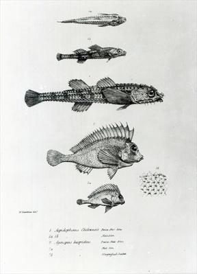 Aspidophorus Chiloensis and Agriopus Hispidus, plate 7 from 'The Zoology of the Voyage of H.M.S Beagle, 1832-36' by Charles Darwin