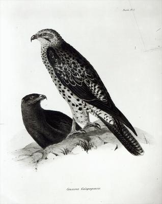 Birds of Prey, plate 2 from 'The Zoology of the Voyage of H.M.S Beagle, 1832-36' by Charles Darwin