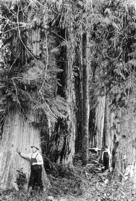 Sitka Spruce | The Wild West is Tamed (1870-1910) | U.S. History