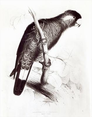 Calyptorhynchus Baudinii, or Baudin's Cockatoo, 1832