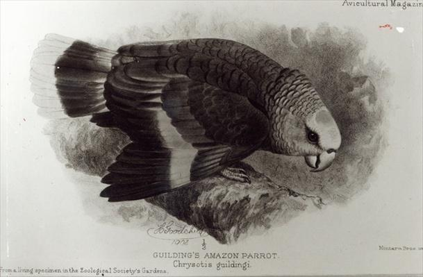 Guilding's Amazon Parrot, illustration from 'The Avicultural Magazine', 1903