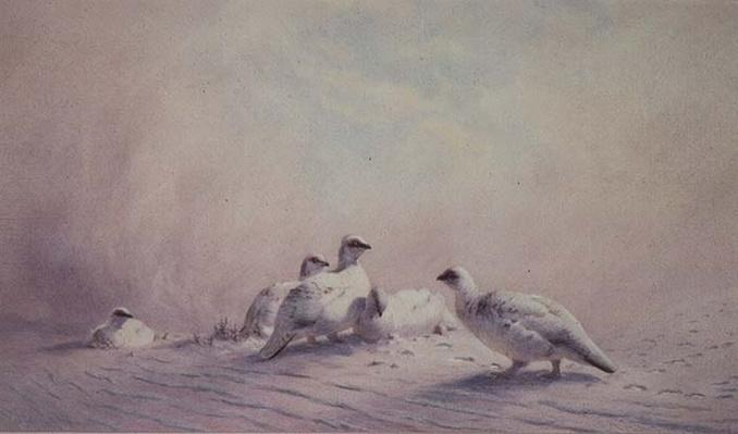 Ptarmigan, Winter, 1873