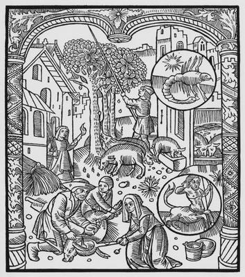 November, killing the pig and harvesting acorns, Scorpio, illustration from the 'Almanach des Bergers', 1491
