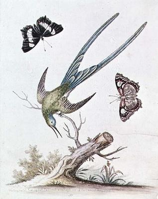 The Long-tailed Humming Bird, 1742