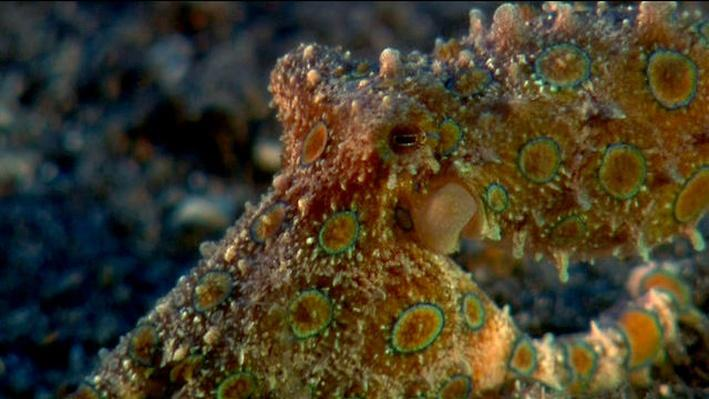 The Shape of Life | Molluscs: Blue-Ringed Octopus Warning Coloration