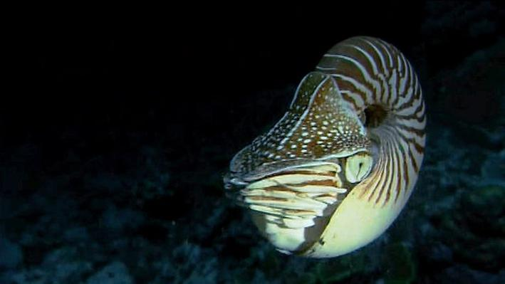 The Shape of Life | Molluscs: Nautilus Regulates Its Buoyancy