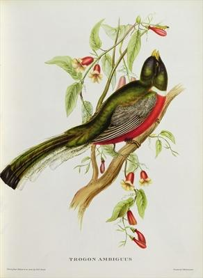 Trogon Ambiguus from 'Tropical Birds', 19th century