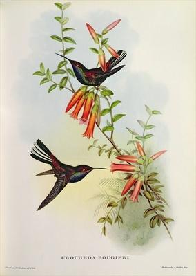 Urochroa Bougieri