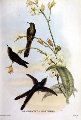 Sparganura Glyceria, from 'Tropical Birds'
