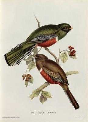 Trogon Collaris from 'Tropical Birds', 19th century