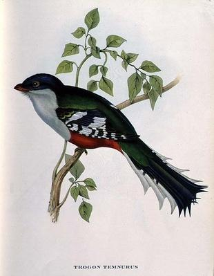 Trogon Temnurus from 'Tropical Birds', 19th century