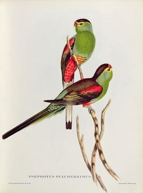 Psephotus Pulcherrimus