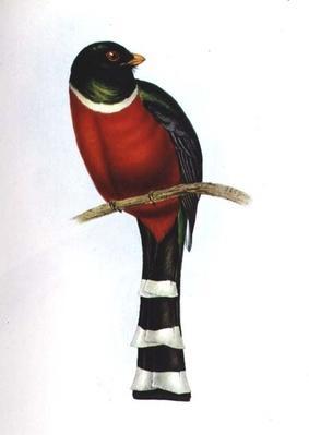 Trogon Mexicanus