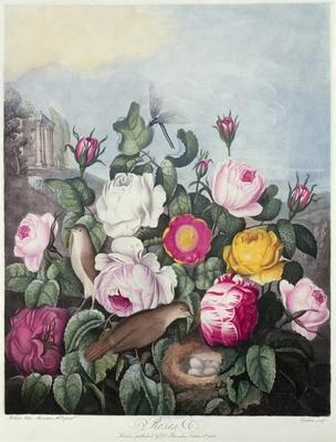 Roses, engraved by Earlom, from 'The Temple of Flora', by Robert Thornton, pub. 1805