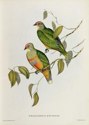 Ptilinopus Ewingii