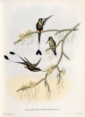 Spathura Solstitialis