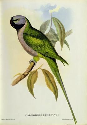 Parakeet: Palaeornis Derbianus, c.1850