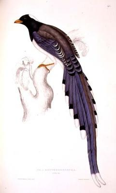 Pica Erythrorhyncha, from 'A Century of Birds from the Himalaya Mountains', 1830-32, by John Gould