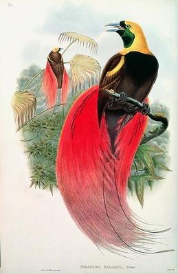 Bird of Paradise, engraved by T. Walter
