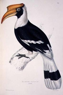 Buceros Cavatus, from 'A Century of Birds from the Himalaya Mountains', 1830-32 by John Gould