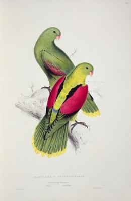 Crimson-Winged Parakeet