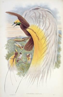 Bird of Paradise, from 'Birds of New Guinea'