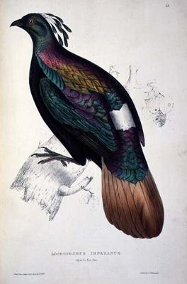 Himalayan Monal Pheasant, from 'A Century of Birds from the Himalaya Mountains', 1830-32, by John Gould