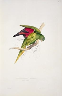 Maton's Parakeet