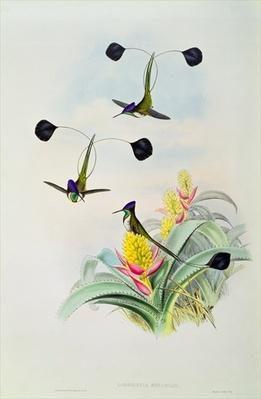 Hummingbird, engraved by Walter and Cohn