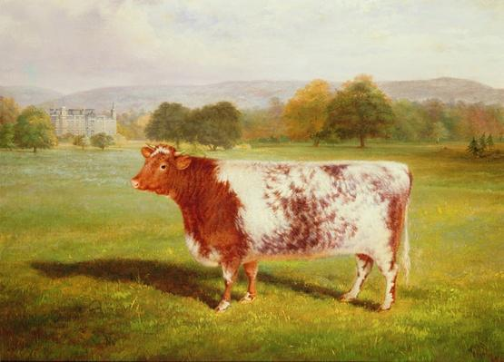 Portrait of a Shorthorn, 19th century