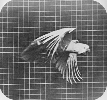 Cockatoo in flight, from 'Animal Locomotion, An Electro-Photographic Investigation of Consecutive Phases of Animal Movement', c.1872-85