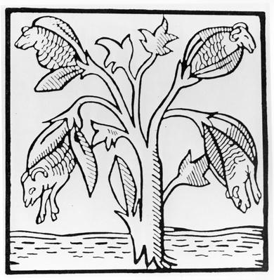 Cotton plant, as imagined by John Mandeville