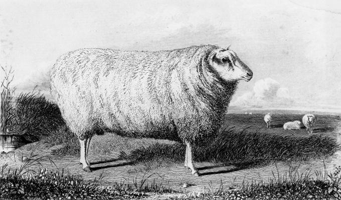 A Leicester Tup, engraved by Thomas Landseer