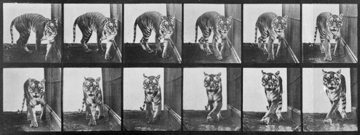 Tiger pacing, from 'Animal Locomotion', 1887