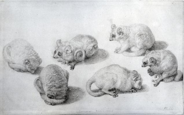 Studies of a Lemur, 1773