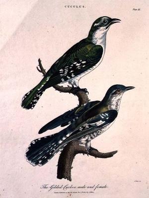 Gilded Cuckoo, Male and Female