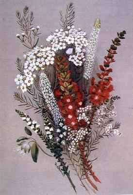 Geraldton Wax Flower and Scarlet Feather Flower, 19th century