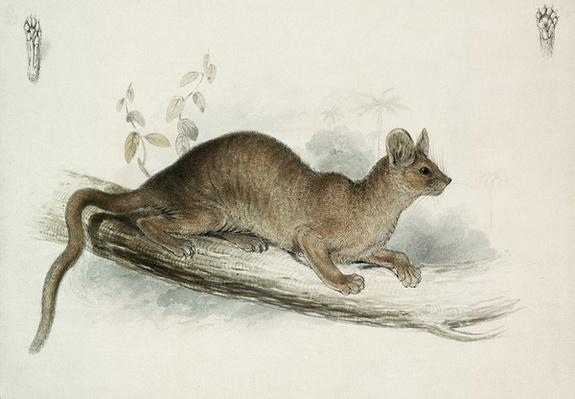 The Polecat, 19th century