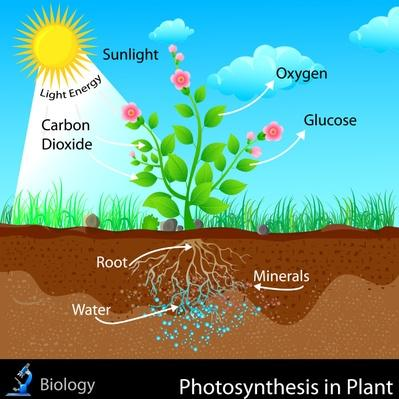 Photosynthesis in Plant | Plants and Animals