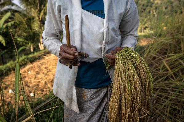 Jatiluwih Rice Farmers Prepare For The Worst As El-Nino Looms | Weather