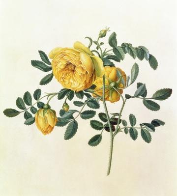 Rosa hemispherica, 18th century