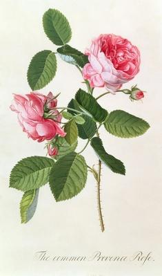 The Common Provence Rose