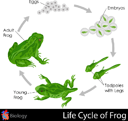 Lifecycle of Frog | Plants and Animals
