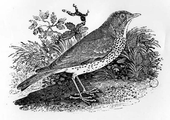 The Throstle Thrush from 'History of British Birds and Quadrupeds'