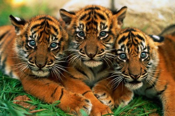 Three Sumatran tiger cubs (Panthera tigris sumatrae), close-up