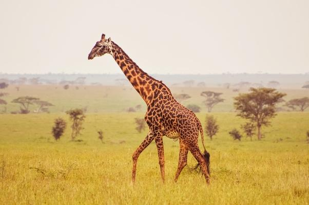giraffe on a misty morning in The Serengeti | Animals, Habitats, and Ecosystems
