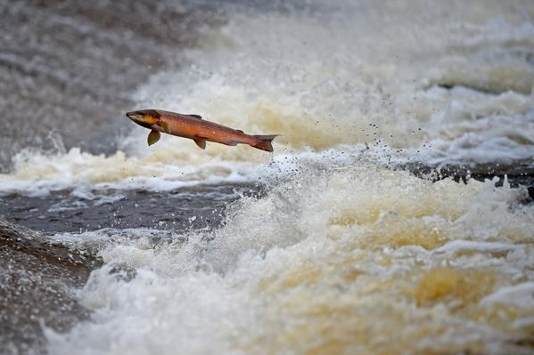Salmon Tagged As They Swim Upstream From The Atlantic | Animals, Habitats, and Ecosystems